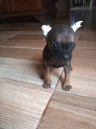 Chihuahua macho para cia