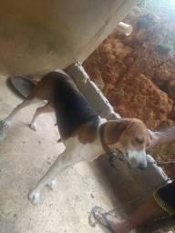 Cachorra femea adulta raça beagle americano