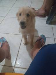 Vende-se um golden retriever