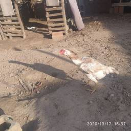 Frangas/galinha índio