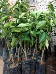 Vendo mudas frutíferas enxertadas