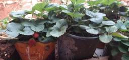 Muda de morango produzindo