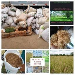 Título do anúncio: SEMENTES CAPIM BUFFEL ARIDUS GRASS BILOELA