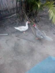 Vendo casal de pato
