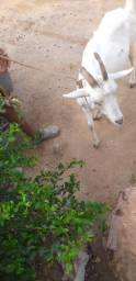 Cabra de raça