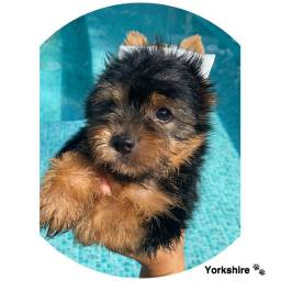 Yorkshire com pedigree e micro chip em até 12x