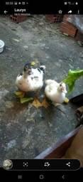 Vendo pato ou troco por franga