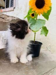 Gato persa macho bicolor PROMOÇÃO