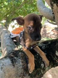 Cachorrinha vira-lata para adoção responsável