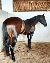 Cavalo  quarto de milha para vaquejada