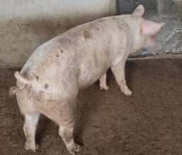 Matriz de porca (de raça)