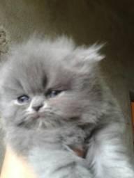 Gatos perda himalaio lindos filhotes