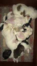 VENDO lhasa apso filhote