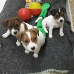 Filhotes De Jack Russell Terrier (cachorro Do Mascara)