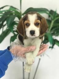 Beagle seu amicão 015