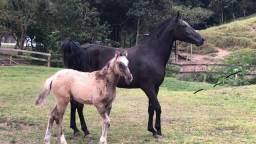 Égua MM pura com potro ao pé