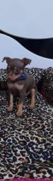 Pinscher MACHO chocolate