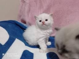 Filhotes gatos Persas e Ragdoll