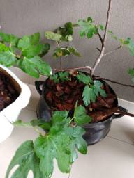 Vasos planta frutíferas