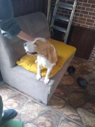 Procuro Beagle macho puro para cruzar