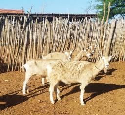Cabras Toggemburg