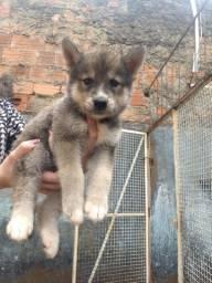 Cachorros machos filhote Akita