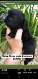 Shitzu fêmea disponível