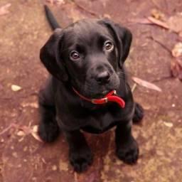 Labrador macho e fêmea disponível