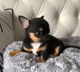 Chihuahua fêmeas Black and tan