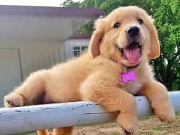 Canil em BH Cães Filhotes Golden Dálmatas Labrador Pastor Akita Rottweiler