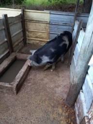 Porco e leitoa