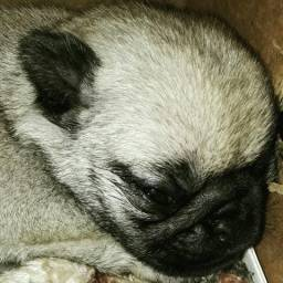 Pug Machinho com Pedigree CBKC