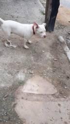 Cachorro 4 meses vacinado aceito troca, 450 no dinheiro 500 na troca