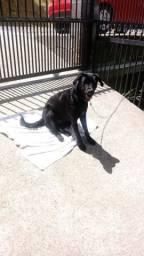 Doação de Labradora