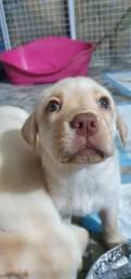 Labrador filhotes disponíveis