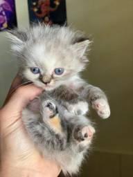 Lindos filhotinhos de gato persa já disponíveis para entrega