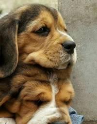 Beagles disponíveis para entrega, com pedigree