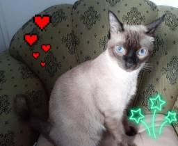 Gato siamês pra adoção