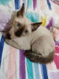 Faço doação dessa gata seamês