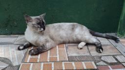 Doação de gatas adultas e castradas