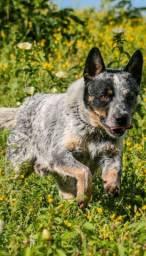 Filhotes Australian Cattle  Dog mais conhecido como BLUE Hellers