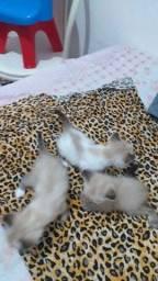 Lindos gatos angra tem olhos azuis