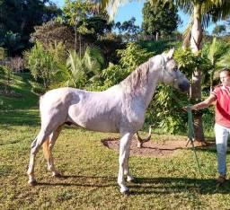 Lindo cavalo mangalarga documentado