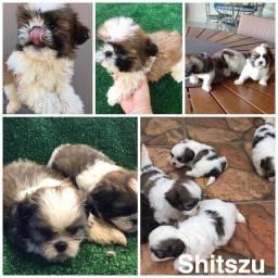 Shihtzu com pedigree e microchip