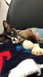 Doação de gatinhos siamêses (mãezinha e filhotes)