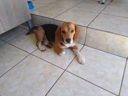 Beagle Macho para cruza