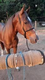 Cavalo Mangalarga Marchador - Lindo Garanhão
