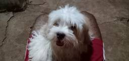Estou vendendo um cachorrinho da raça Lhasa apso ele tem  5 meses