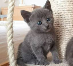 Russian blue machinho
