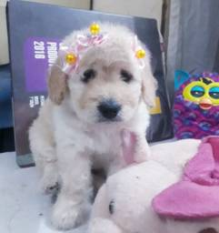 Poodle toy n1 FÊMEA